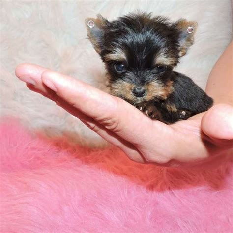 yorkshire terrier sale extra tiny teacup yorkie puppy for sale doll teacup