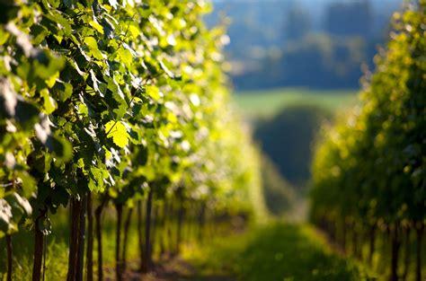 quand planter une vigne quelle est la meilleure saison pour planter