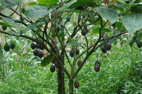 tree in brazil 4 benefits from only 2 brazil nuts per day healthy