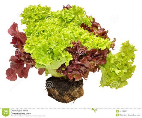 fresh living fresh living lettuce stock photo image 44176257