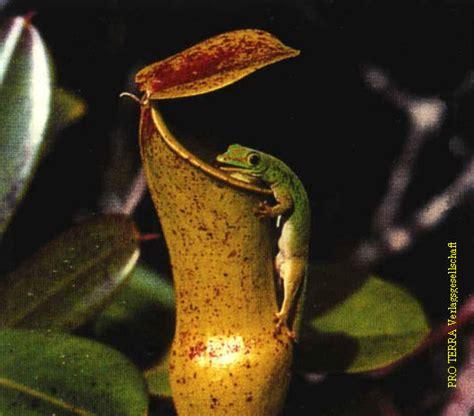 Der Garten Darf Nicht Sterben by Kannenpflanzen Ig Phelsuma
