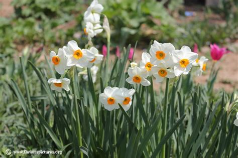 pictures of flowers narcissus flower picture 28