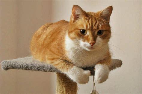 orange cat orange cat cat of my friend name cynamon one isn