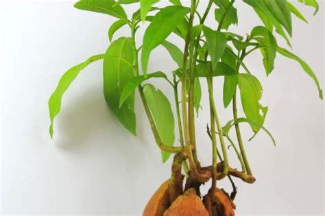 Garten Pflanzen Womit Düngen by Die Besten 25 Avocadobaum Ideen Auf Advocado