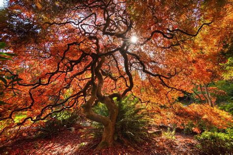 maple tree in fall bc fall colours versus ontario k jones photography