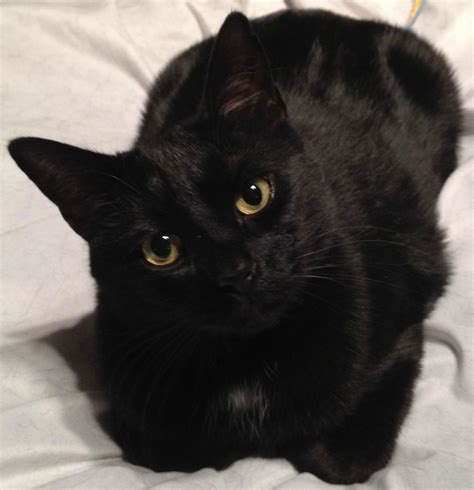 cat black black cats most common least desired fundamentally feline