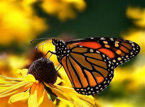 a butterfly news butterfly monarch butterfly