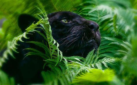 animal jungle black panther wallpaper 777467