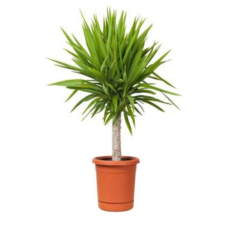 the best indoor plants 18 best large indoor plants houseplants for home