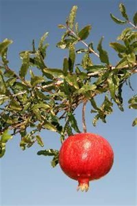 should you water a tree how often should you water a pomegranate tree trees
