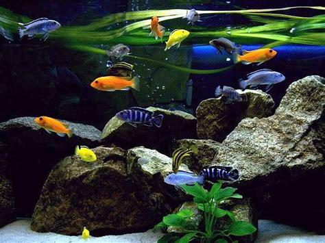 photos d aquariums 1 cichlid 233 s