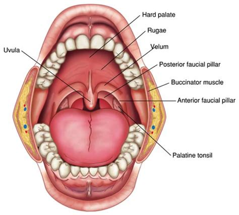 Floor Of Mouth Anatomy by Dental And Oral Anatomy Test 1 Dental Hygiene 1012 With