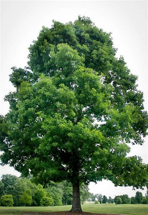 tree in white white oak for sale the tree center