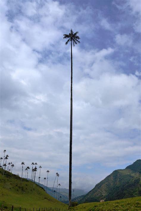 tallest tree in the world la palmera m 225 s alta mundo