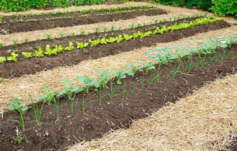 straw mulch vegetable garden mulching low maintenance gardening