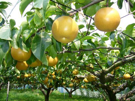 pear tree file pear tree katori city japan jpg