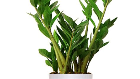 houseplants that don t need sunlight large house plants low light