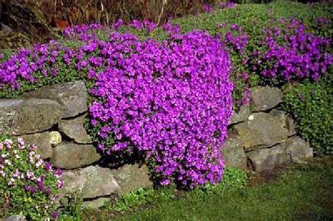 rock garden plants for sale 5 aubrietia mini plants alpine rock garden plant