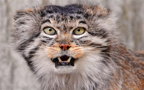 picture of a cat pallas cat wallpapers animals wiki pictures