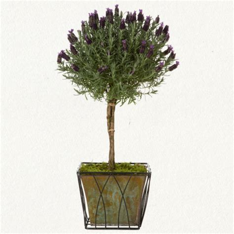 traditional plants lavender topiary traditional plants by terrain