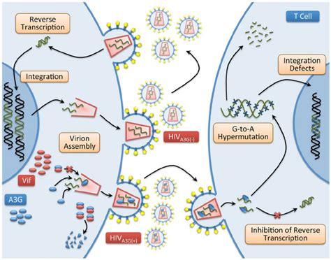 big picture book of viruses hiv virus diagram smartdraw diagrams