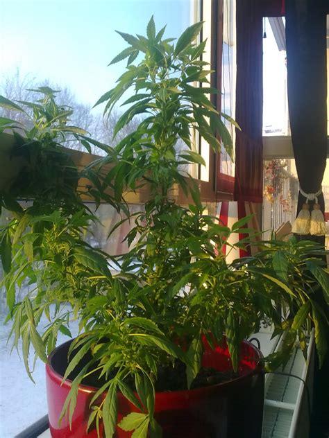 transf 233 rer cannabis de l int 233 rieur vers l ext 233 rieur graines de