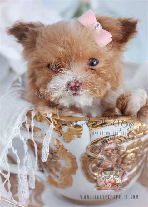 micro for sale micro teacup puppies www pixshark images galleries