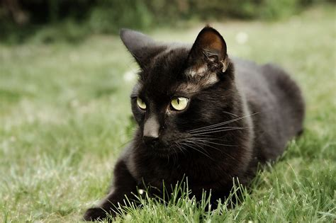 black cat beautiful black cat hd pictures wallpapers 2013