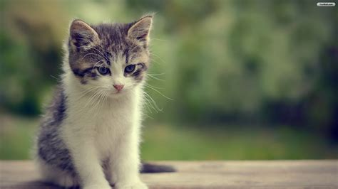 Cat Wallpaper 1920x1080 by Cats Wallpaper 183 Free Hd Wallpapers Of Cats For