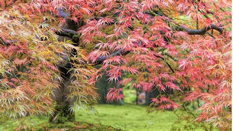 how to select the right japanese maple grow beautifully