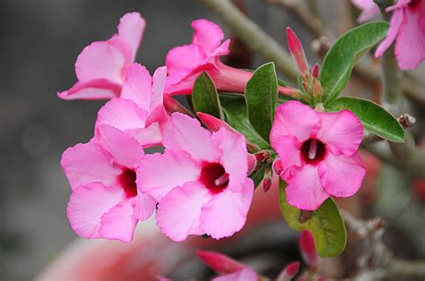 pictures of flowers pictures of flowers adenium