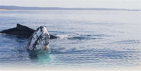 About the whales   Sapphire Coast