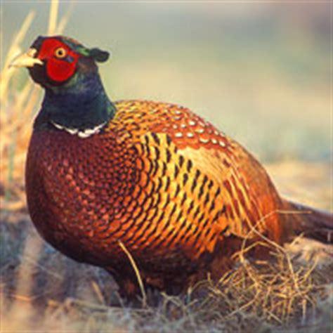 state bird of south dakota south dakota page stuff you might like to