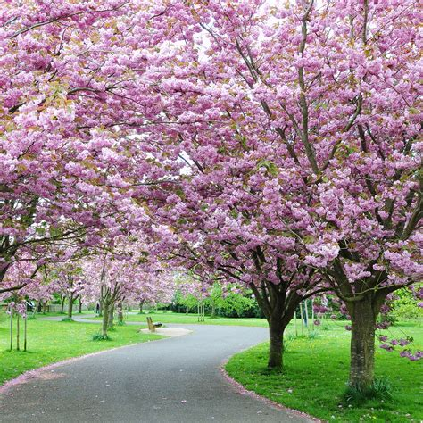 cherry trees cherry blossom trees are blooming now brighter blooms nursery