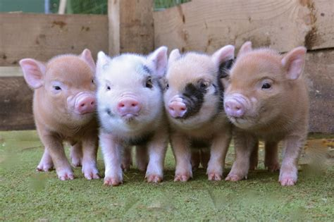 micro for sale pin teacup pigs grown on