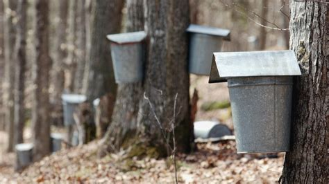 sap discovery could turn syrup the salt npr
