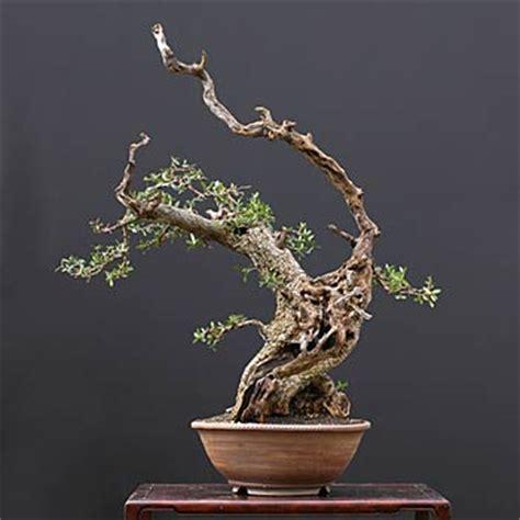 fiche de culture et d entretien de l olivier en bonsa 239 bonsai ka