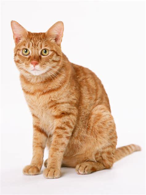 orange cat cat free stock photo an orange cat isolated on a white