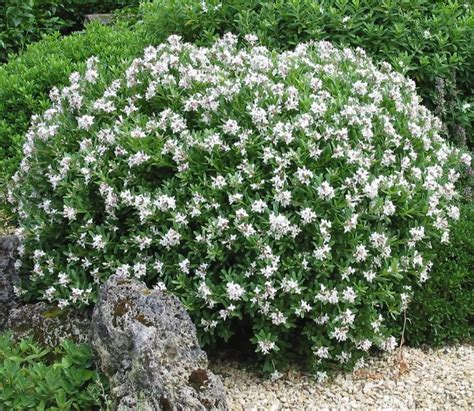Gardenia Jasminoides Frostproof Shrubs