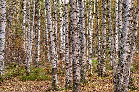 birch tree rubber st photo 1669 22 birch trees in eastern part of sosnovka