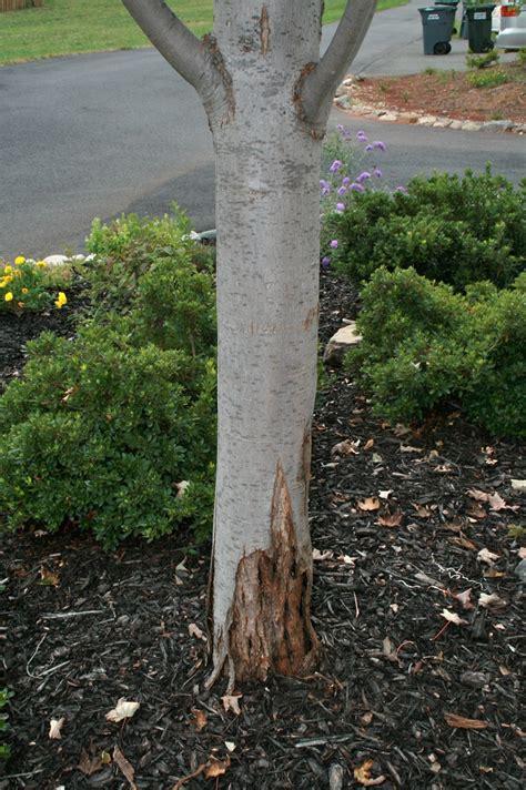 maple tree trunk splitting maple bark splitting grow fertilizer bugs trees garden trees grass lawn flowers