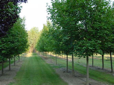 maple tree nursery tree nurseries michigan thenurseries