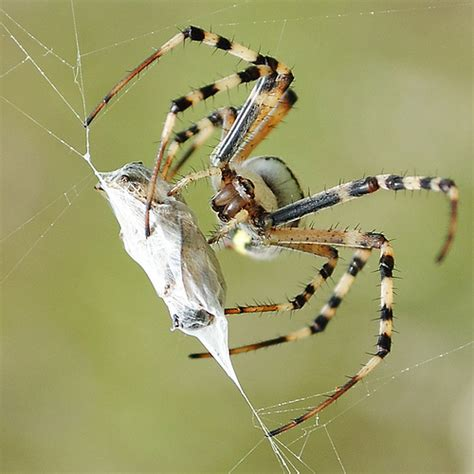 Garden Spider Prey Spider Prey A Photo On Flickriver