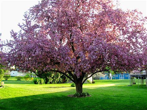 cherry blossom tree in geneva flickr photo