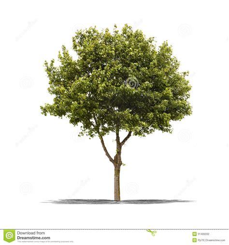 tree on white green tree on a white background stock photo image 31499332
