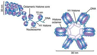 bead like proteins around which dna coils histones beyond the dish