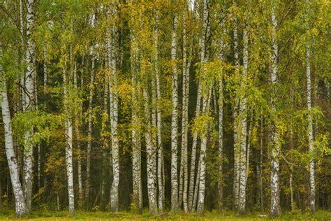 birch tree rubber st album pavlovsk near st petersburg russia oak alley