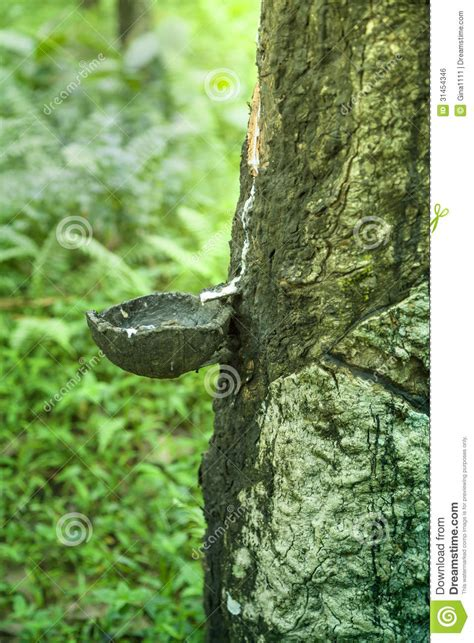 pan trees a drip pan on a rubber tree royalty free stock image