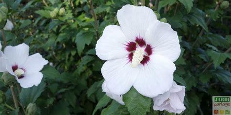 les 25 meilleures id 233 es de la cat 233 gorie arbre d hibiscus sur plantes en pot en plein