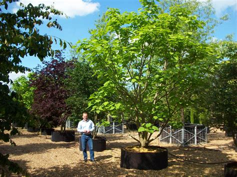 tree sales trees sale stripers